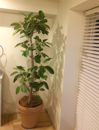 世田谷区のモデルルームへの観葉植物の設置事例サムネイル